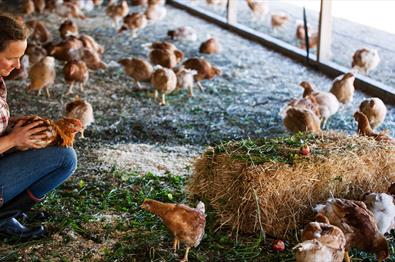 Meet the organic chickens in Hovelsrud farm